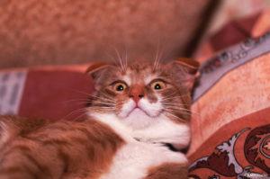Кошка отморозила уши
