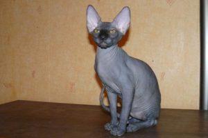 Кошки без шерсти
