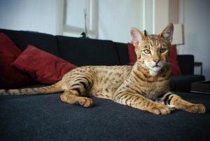 Кот, похожий на леопарда: какая порода