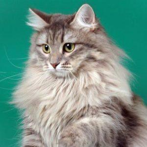 Какие существуют пушистые породы кошек