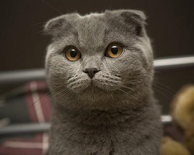 Британские коты бывают вислоухими