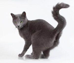 Что делать, если кошка метит территорию во время течки
