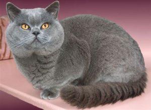 Характер британской лиловой кошки
