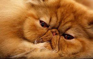 названия пород рыжих кошек
