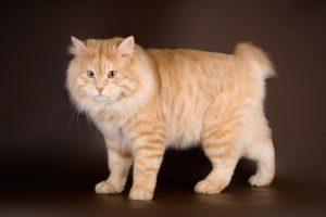 Характер и названия пород рыжих кошек