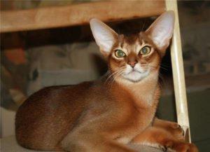 Характер кошек-абиссинцев