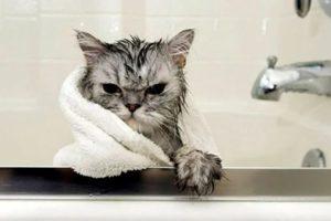 Как часто можно купать кошек, чтобы не вредить им