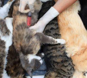 Можно ли усыпить здоровую кошку