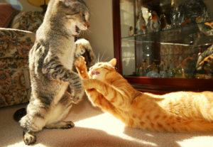 две кошки в одной квартире