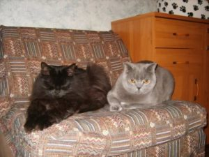 подружить двух кошек в одной квартире