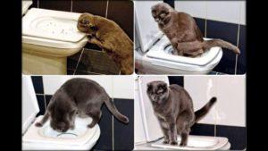 приучить взрослую кошку к лотку