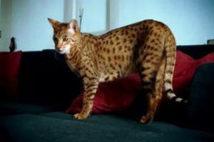 Какая существует самая большая порода кошек в мире