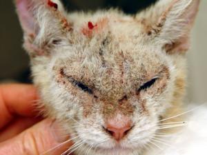 Какие бывают кожные заболевания у кошек