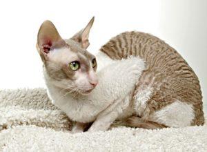 антиаллергенные породы кошек