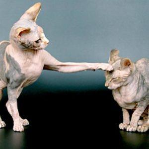 антиаллергенные породы кошек для аллергиков