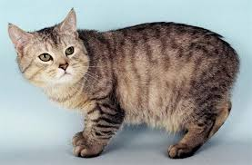 Какие есть бесхвостые породы кошек
