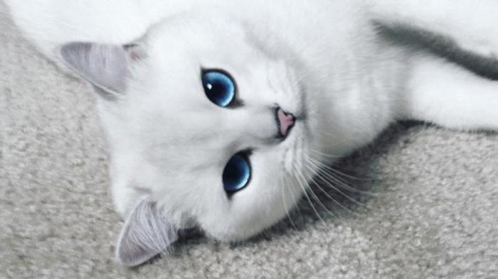 Кот с голубыми глазами фото порода