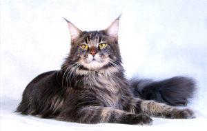 Какие есть породы кошек с кисточками на ушах