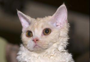 Какие породы кошек являются долгожителями и их названия