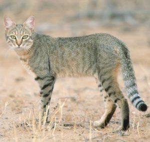 Краткое описание разных пород диких кошек