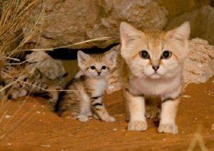 Какие существуют породы диких кошек