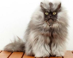 Самые пушистые кошки в мире