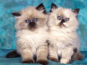 пушистые породы кошек