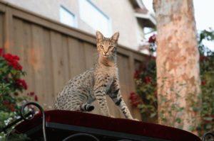 порода кошки леопард