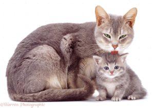 Как правильно выбрать противогельминтное средство для беременной кошки