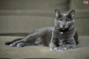 характер корат кошки