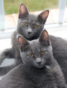 Описание, фото и характер корат кошки