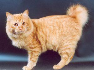 характер кошки курильский бобтейл