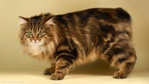 фото и характер кошки курильский бобтейл
