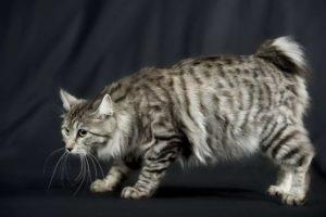 Описание, фото и характер кошки курильский бобтейл