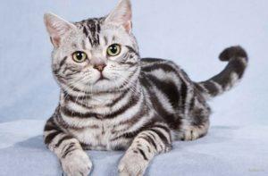 характер американского короткошерстного кота