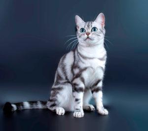 Описание и характер американского короткошерстного кота