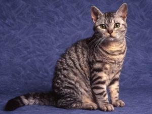 характер американской жесткошерстной кошки