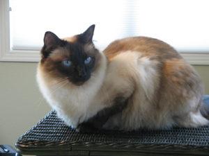 Описание и характер балинезийской кошки