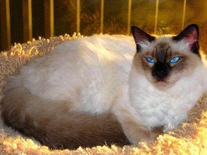 характер балинезийской кошки