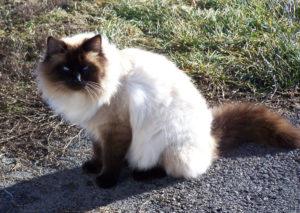 Нрав балинезийской кошки