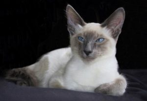 Описание и характер балинезийской породы кошек