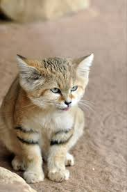 характер барханных кошек