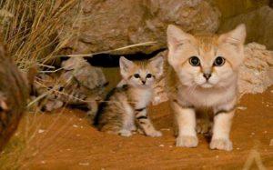 порода барханных кошек