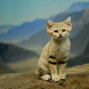 Описание и характер барханных кошек
