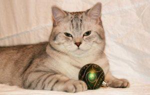 характер британской прямоухой кошки