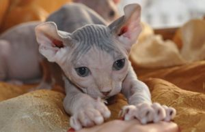 Описание и характер кошки эльф