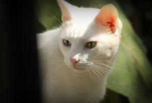 характер кошки као мани