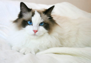 характер кошки породы рэгдолл