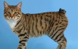 характер кошки японский бобтейл