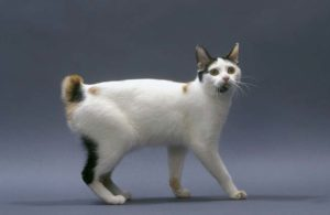 Описание и характер кошки японский бобтейл